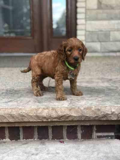 Illinois Irish Goldendoodle Puppy