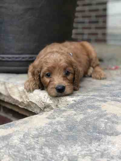 Illinois Irish Goldendoodle Puppy