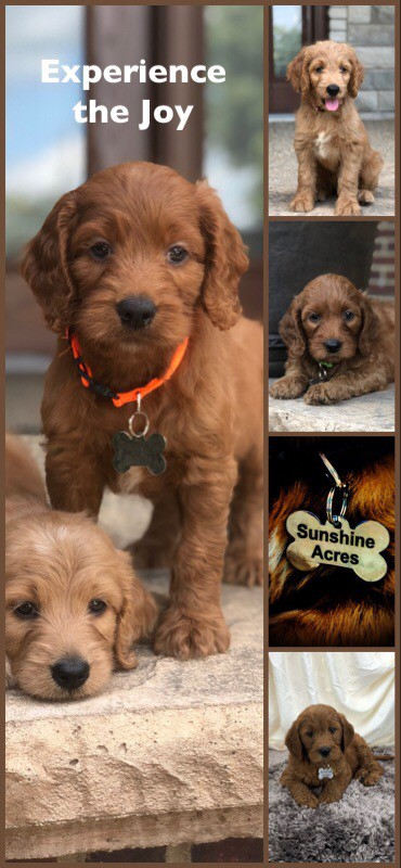 Sunshine Acres Irish Goldendoodles