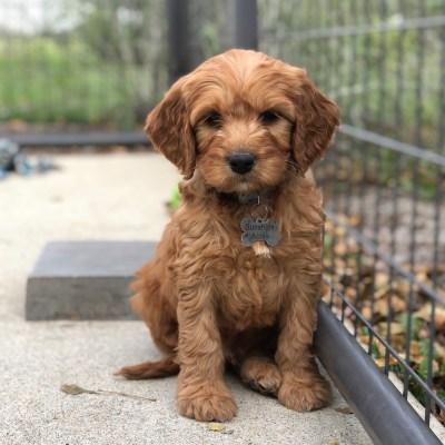 Irish Goldendoodle Puppies for Sale