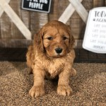 F1B Irish Goldendoodle Puppy
