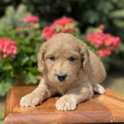 Irish Goldendoodle Puppy