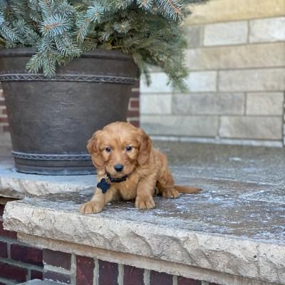 Irish Goldendoodle Puppy