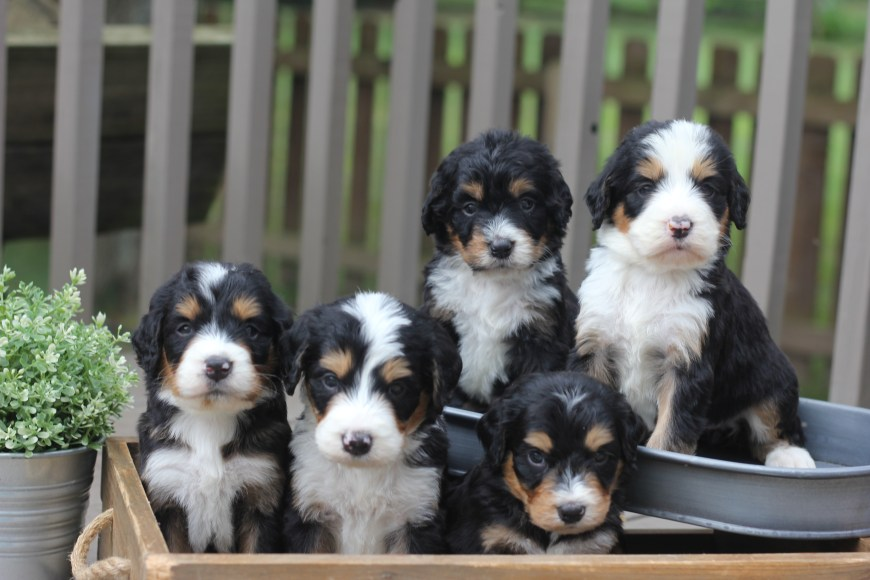 Bernedoodle Puppies Archives Doodle Squad Puppies