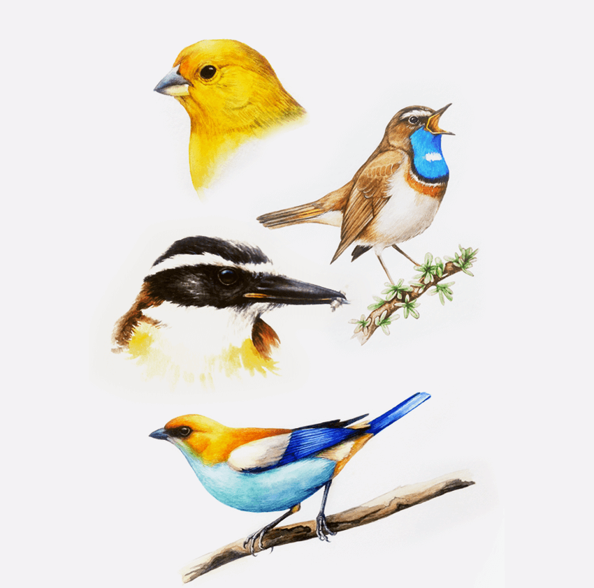 Birds of Argentina - Doodlewashes by Otto Besel