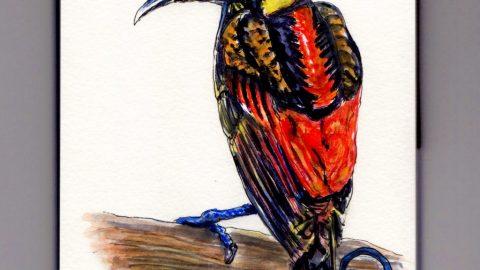 Wilson's Bird of Paradise Doodlewash - exotic bird from Indonesia watercolor sketch