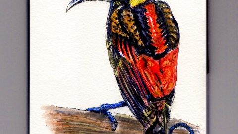 Wilson's Bird of Paradise Doodlewash - exotic bird from Indonesia watercolor sketch