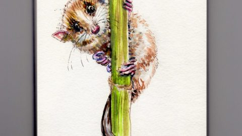 The Monito Del Monte - Doodlewash watercolor sketch of colocolo opossum, Dromiciops gliroides nearly endangered species