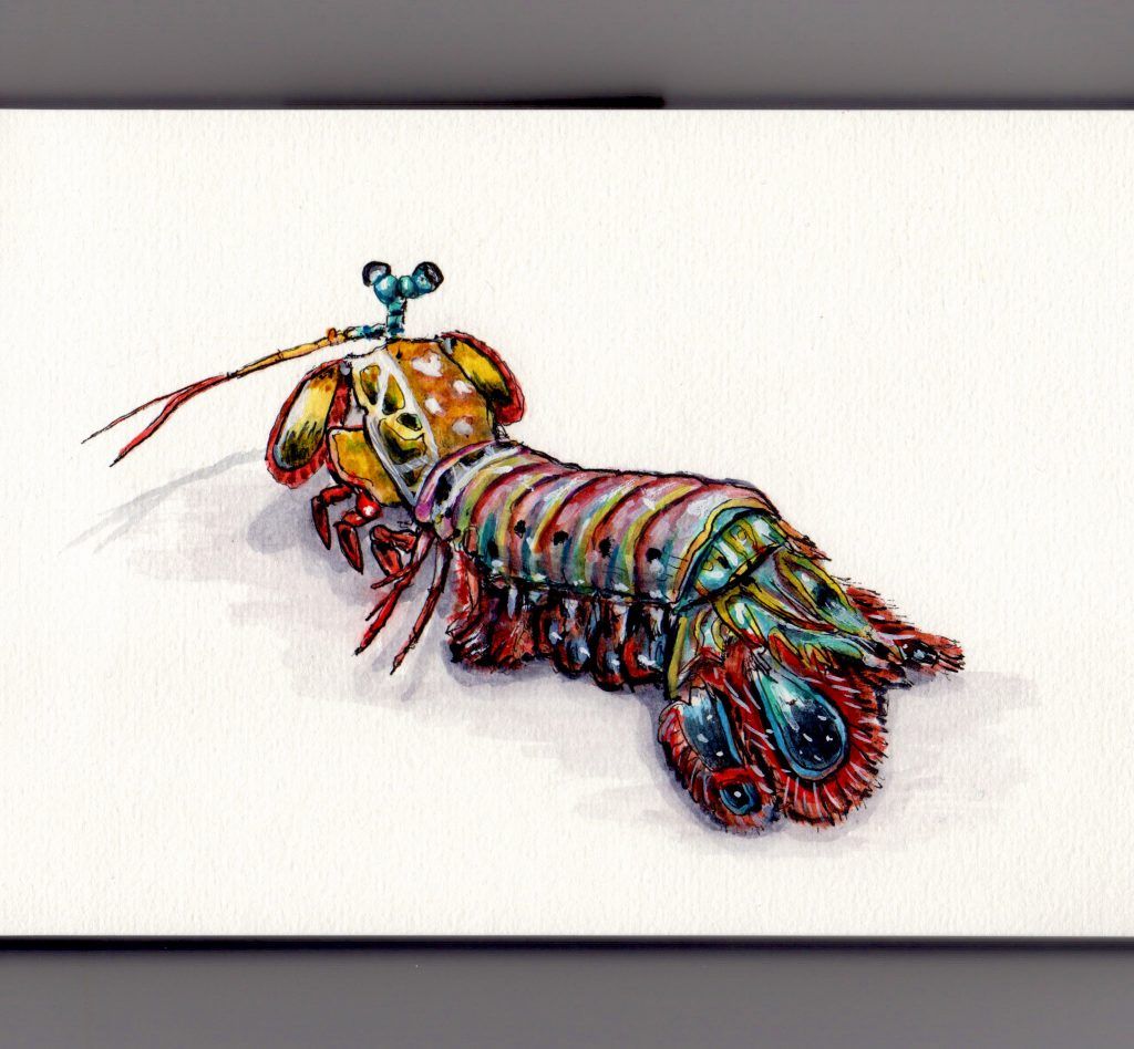 Peacock Mantis Shrimp Doodlewash