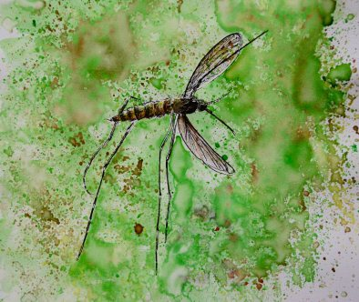 Doodlewash of a mosquito in watercolor by Jessica Hay