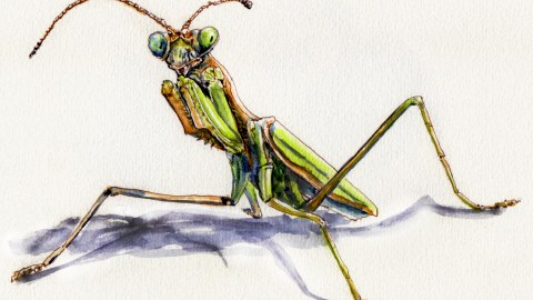 Odd Habits of the Praying Mantis doodlewash and watercolor sketch on white background with shadow nymph