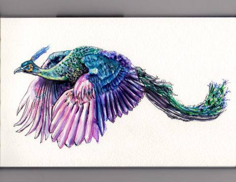What Do Peacocks Look Like When They Fly? Doodlewash and watercolor sketch of flying peacock