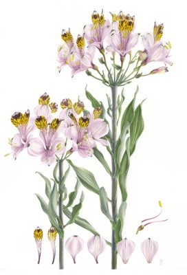 Doodlewash - Botanical Illustration by Işık Güner of Alstroemeria Pulchra © Royal Botanic Garden, Edinburgh
