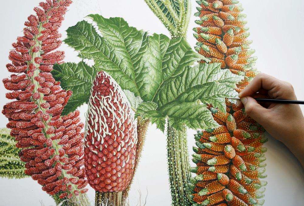 Doodlewash - Botanical Illustration by Işık Güner of Gunnera Tinctoria © Royal Botanic Garden, Edinburgh