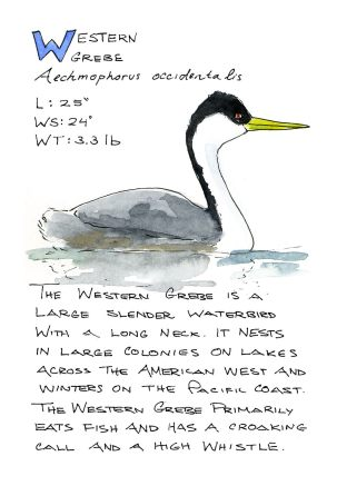 #WorldWatercolorGroup - Watercolor Sketch by Maria Coryell-Martin of Western Grebe - #doodlewash