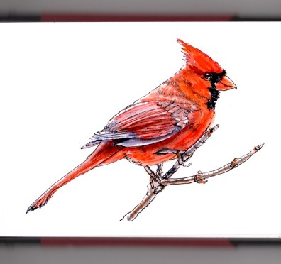 Day 8 - #WorldWatercolorGroup Winter Red Bird Northern Cardinal on white background