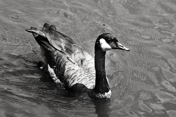 Goose Paddle