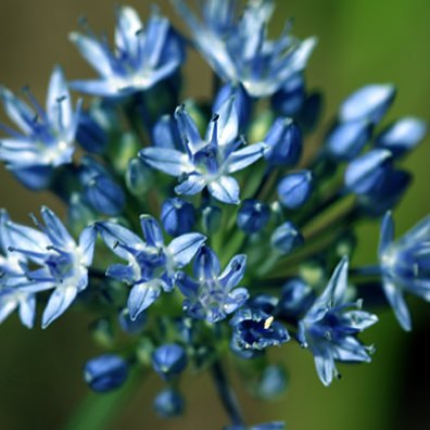 Bunches of Blue