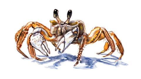 Day 6 - World Watercolor Month - A Tiny Crab - Doodlewash