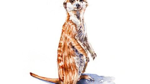 #WorldWatercolorGroup - Day 18 - My Favorite Wild Animal - Meerkat - Doodlewash