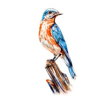 World Watercolor Group - Day 8 - My Favorite Bird - Eastern Bluebird - Missouri State Bird - Doodlewash