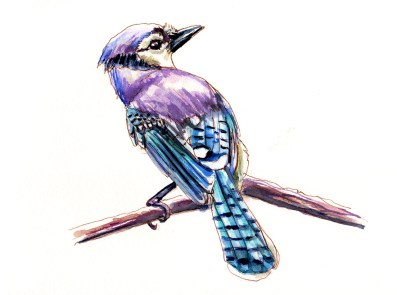 Day 8 - Watching Birds - Bluejay