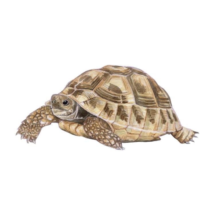 A sloooow tortoise Tortoise