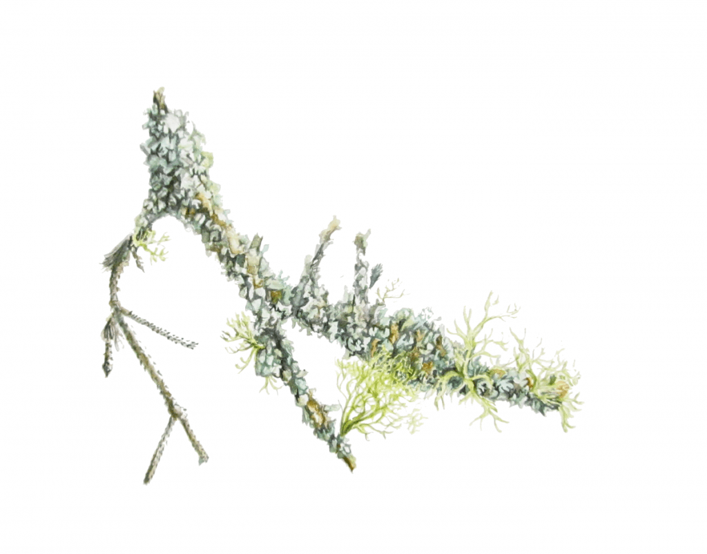 Lichen on Conifer Twig – Watercolour Botanical Painting by Lee Angold. From live reference fou