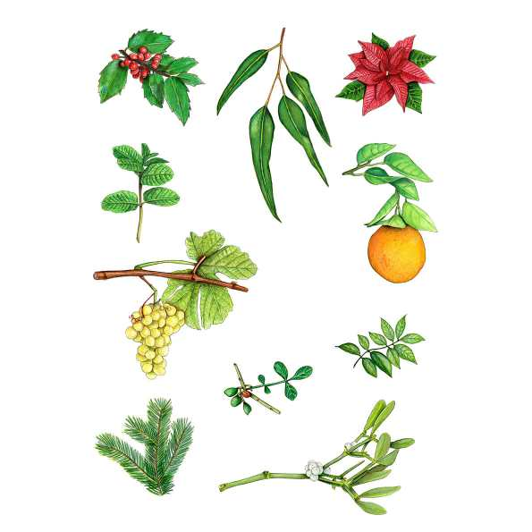 10 Christmas Plants & Fruits Christmas Plants and Fruits Illustration by Miriam FiguerasChristma