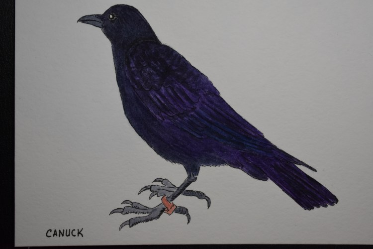 This is Canuck, a crow celebrity. He made the news when he stole a knife that was evidence from a cr