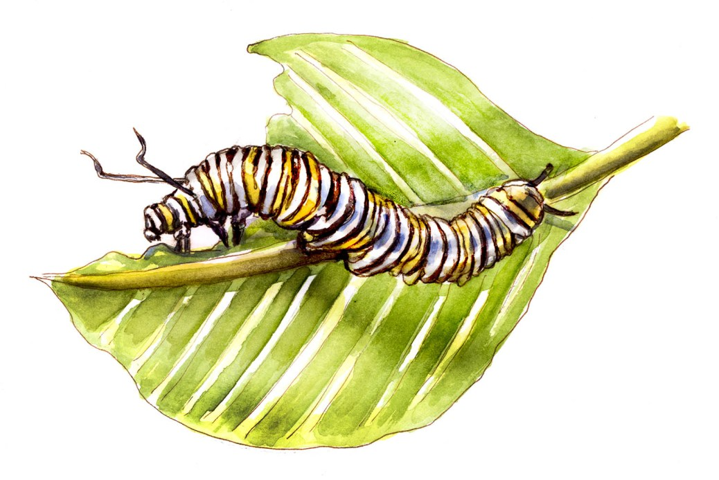 #WorldWatercolorGroup - Day 25 - Monarch Caterpillar - One Day A Butterfly - Monarch Caterpillar - Doodlewash