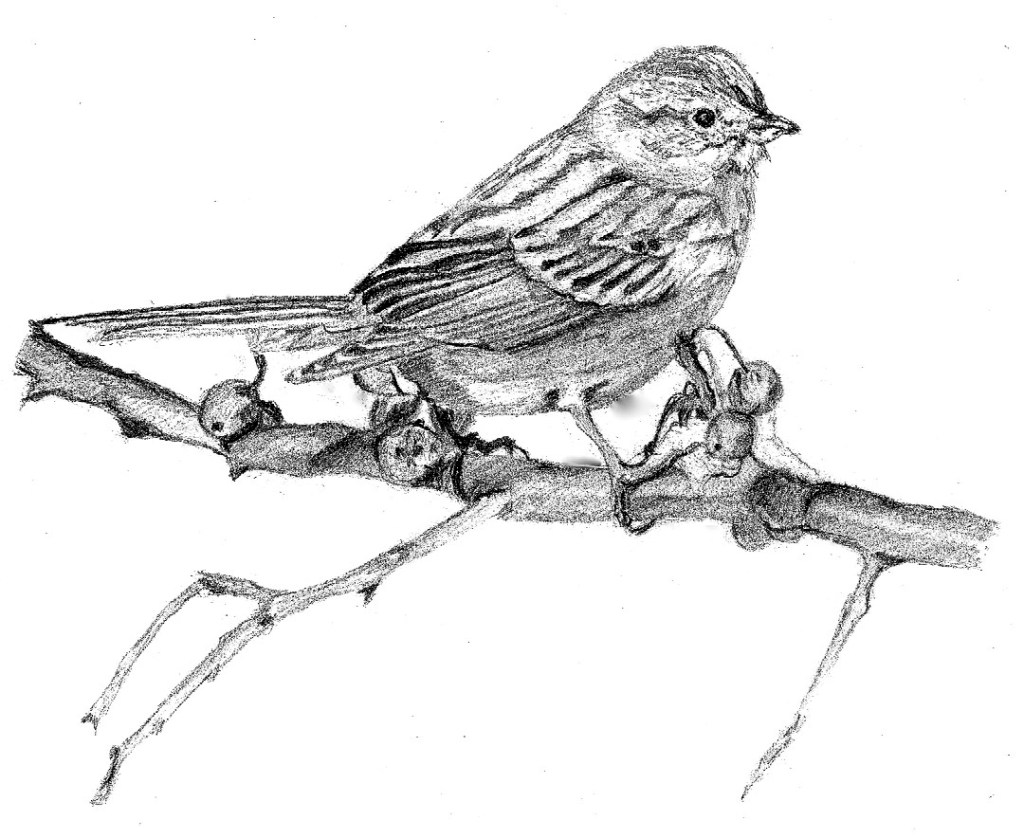 Pencil drawing of a sparrow American Tree Sparrow