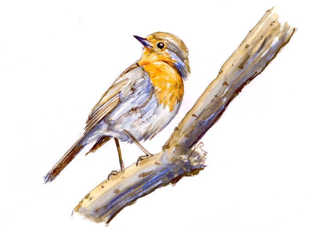 Day 8 - Draw A Bird Day English Robin Watercolor - Doodlewash