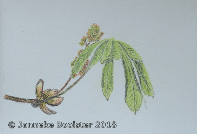 Another drawing of my chestnut tree in springtime. I used watersoluble pencils for this one. The ref