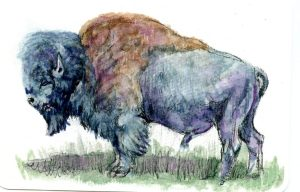 American Bison -When I saw this reference photo, I had to do this one – it's just such a