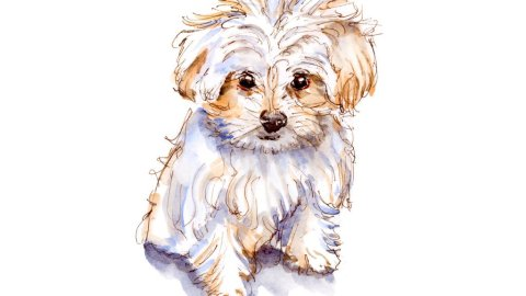 Day 19 - Pocket Dogs Maltese Watercolor - #doodlewashMay2018 Doodlewash