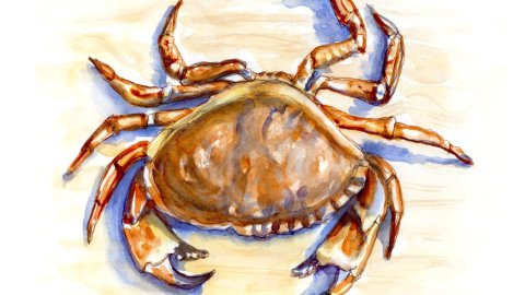 Day 8 - Dungeness Crab Walking Sideways - #doodlewashJune2018 Doodlewash