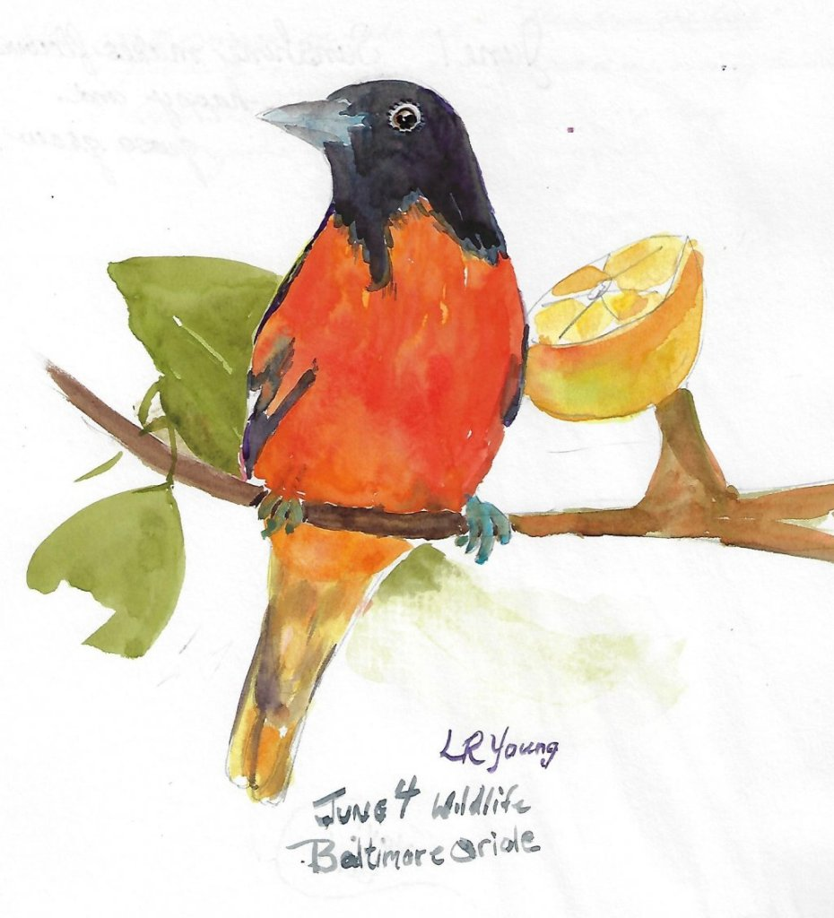 June 4, Wildlife day is with the Baltimore Oriole. We occasionally get an Oriole to come to the feed