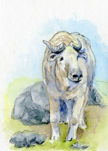 Postcards for the Lunch Bag: The Takin (pronounced Tockin) is called a goat-antelope and a gnu-antel