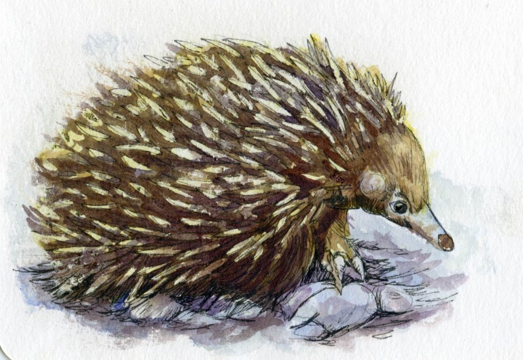 Did you know that the Spiny Anteater (aka Echidna) female lays eggs. The only other mammals that do