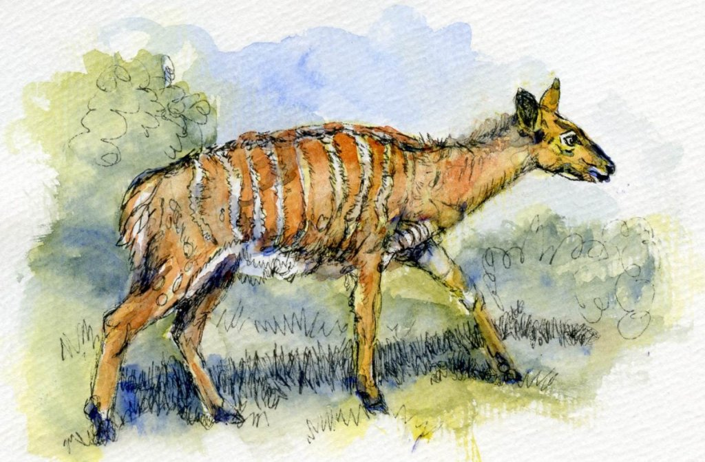 Postcards for the Lunch Bag – Female Nyala. Did you know that not only do the male and female
