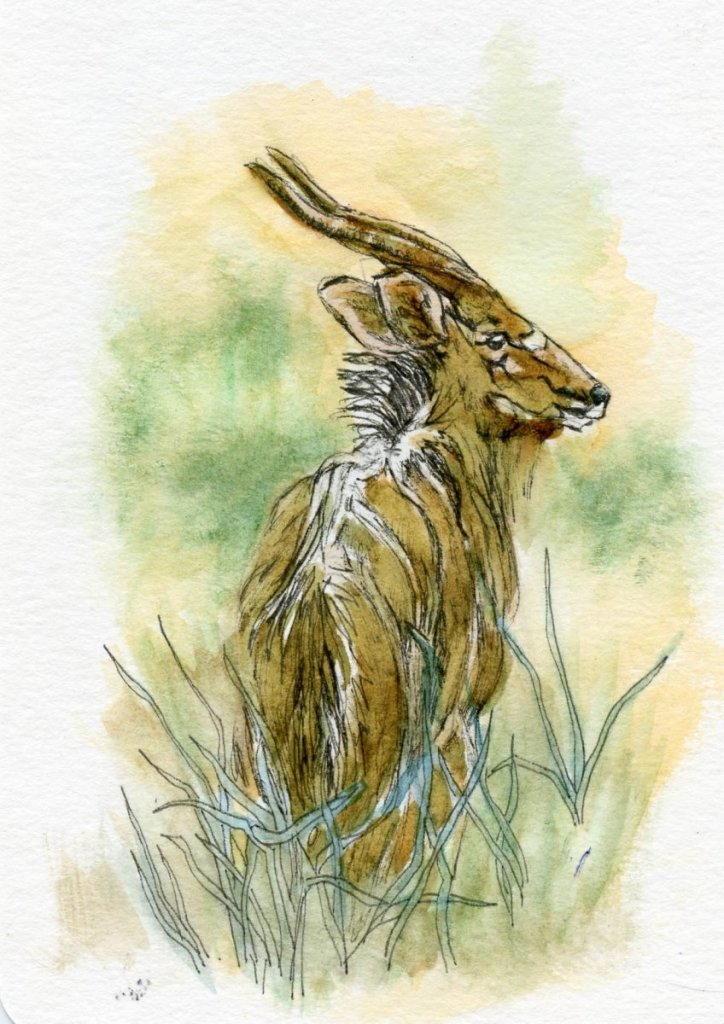 Postcards for the Lunch Bag – Nyala. Did you know that the African, forest dwelling, Nyala mal