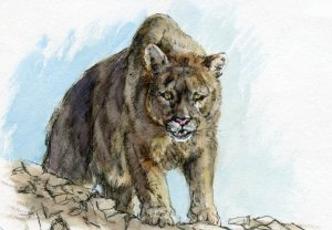 Postcards for the Lunch Bag – Did you know that the cougar cannot roar, but they do purr just