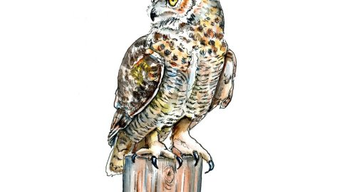 Great Horned Owl Watercolor - Day 8 - Doodlewash