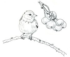Inktober 2018 Drawing Bird And Berries - Doodlewash
