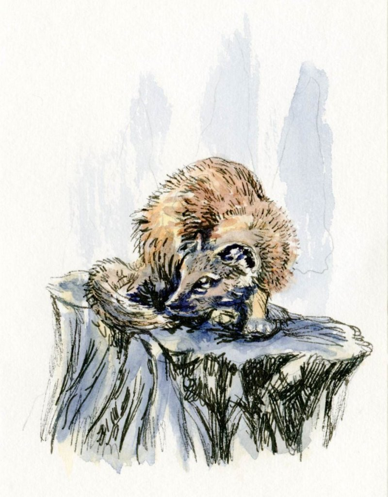 Did you know that the Pine Marten has two scent glands. One is the usual gland located at the &#8230