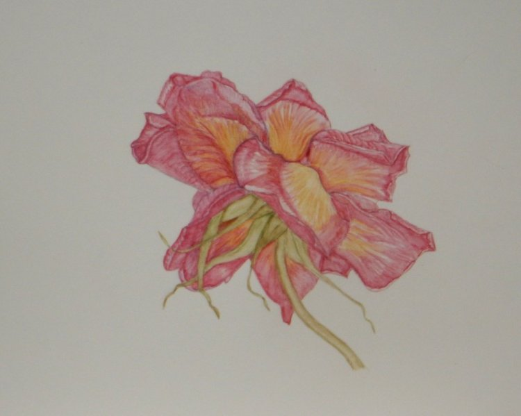 World Watercolour Group™FADED ROSE take 3 I took the plunge and added a damp brush, i am happ