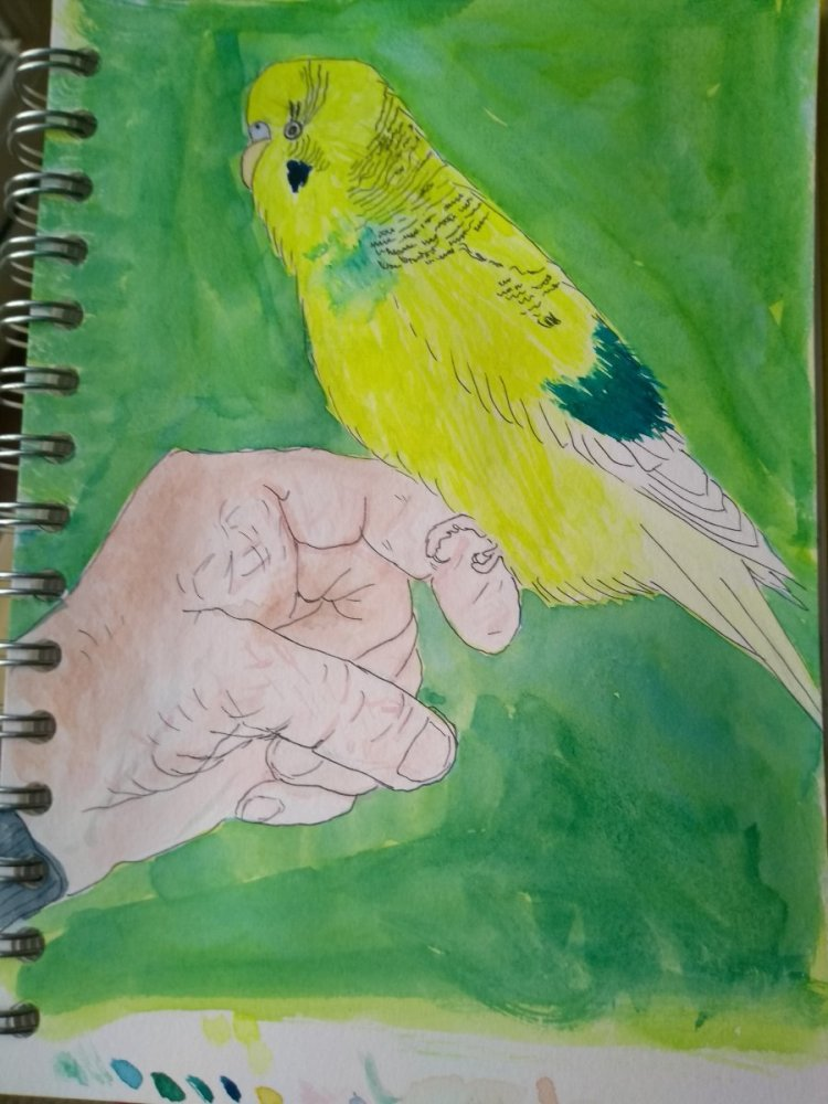 #day8-parrot-doodlewashwatercolourjanuary2019 This is my little parrot. My budgie Aussie. IMG_201901