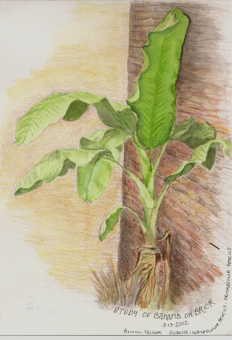 Banana Tree – colored pencil and water color banana-tree-page