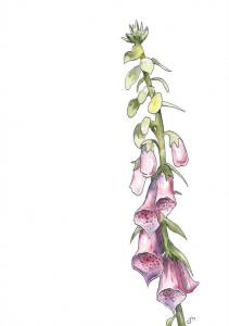 The foxglove is one of my favourite flowers, reminding me of sunny childhood days in Sweden. poisono